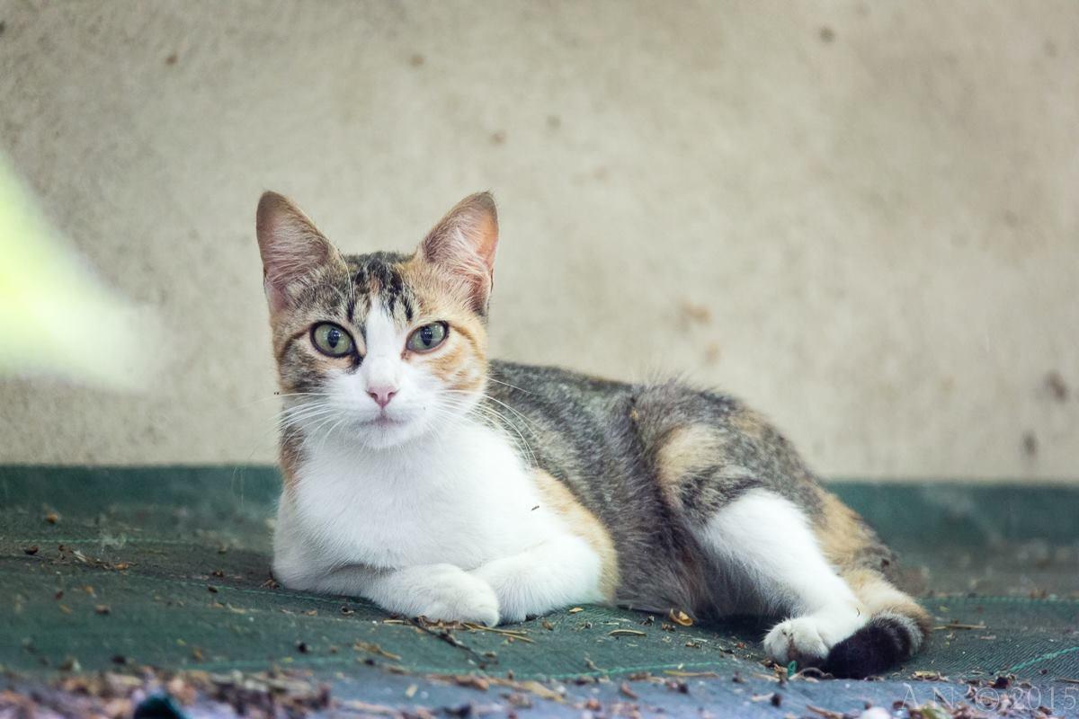 Fauna-gatto